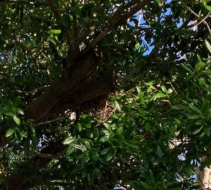 The children spotted a Dove Nest under construction, on the 3-6 playground in the Oak tree!??