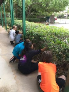 Room 22 harvests- epiphytes Tillandsia recurvata for a special project!😊