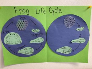 Room 2 presents the Life Cycle of the Frog. The children are excited about watching the growth and changes. Four legs!!! ??