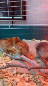 The chicks are growing so fast, you can see the wing feathers sprouting already!????